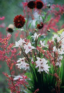 De Abessijnse gladiool (officiële naam: Acidanthera of Gladiolus callianthus . Beautiful Gardens, Beautiful Flowers, English Garden Design, Home And Garden Store, Deco Floral, Plantar, Dream Garden, Land Scape, Garden Inspiration