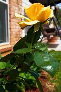 Yellow Rose of Texas. Photo by Andy New. Homesick Texan, Texas Animals, Only In Texas, Texas Tech University, Texas Forever, Loving Texas, Texas History, Texas Homes, Rose Photography