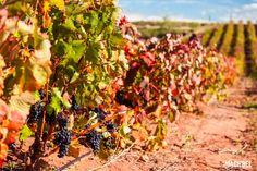 Uvas negras colgando del viñedo Viñedos en otoño La Rioja España by machbel