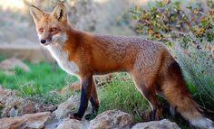 scotland red fox - Google Search