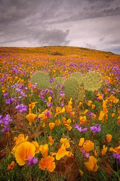 Poppies and Blue Dicks (wild hyacinth) looking for the sun as a storm passes in SE Arizona, USA (by John Williams on 500px)