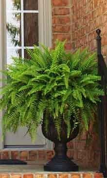 Boston Fern Said to act as a natural air humidifier, removes formaldahyde and is a general air purifier. Said to be among the best in air purifying houseplants. Potted Plants For Shade, Potted Ferns, Faux Plants, Indoor Plants, Fern Planters, Outdoor Planters, Garden Planters, Outdoor Gardens, Container Flowers