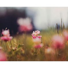 Nature Photography Clover Photograph Flower by #ellemoss on Etsy #sunny16