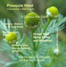 Matricaria discoidea, commonly known as pineappleweed, wild chamomile is an annual plant native to North America. Pick young flower buds for salads, or fresh or dried to make a tea. The entire plant can be used to repel insects.