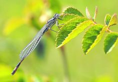 Dragonfly, Beaker Bridesmaid Pictures Images, Damselflies, Bridesmaid, Dragonflies, Maid Of Honour, Dragon Flies, Bridesmaids