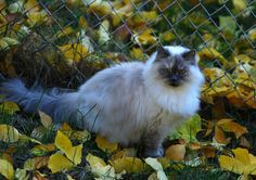 Blue Point Himalayan Cats | Cat, Blue Point Himalayan - straylight's Photos, I had one, his name was Azul.