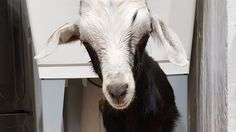 On September 10, 2016 a group of boys from Fayetteville Arkansas High school rented a baby goat from a friend of theirs for $10. The goat, Grace,was rentedas entertainment for their party. Videos surfaced ofone boyholding Grace while another boy smashed afull can of on her head to bust it open,...