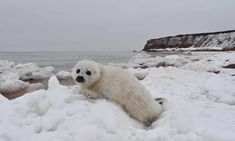 'There's no ice': warming seas chill Quebec's seal tourism | Environment | The Guardian Harp Seal Pup, Baby Harp Seal, Baby Seal, Seal Hunting, Learn To Swim, Climate Change Effects, Beautiful Soul, Global Warming, The Guardian