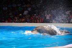 It's Throwback Wednesday! Some incredible performances from our most favourite creatures. Book today at www. Dubai Dolphinarium, Most Beautiful Animals, Most Favorite, Dolphins, Wednesday, The Good Place, Exotic, Creatures, Waves