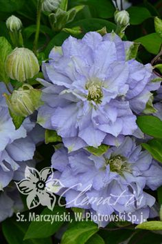 Early Large-flowered Group Clematis 'Diamond Ball' PBR Autumn Clematis, Clematis Flower, Clematis Vine, Large Flowers, Beautiful Flowers, Clematis Varieties, Blue And Purple Flowers, Flower Farmer, Climbing Vines