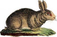 Natural History Rabbit Image