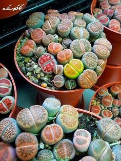 Colorful Living Stones Succulents