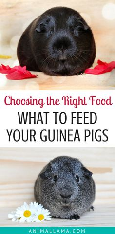 Wondering what you should feed your guinea pigs and how to make their diet healthy? See what kind of food you should give to your guinea pigs, what kind of needs do these furry animals have, and how to choose the best food for them! #guineapigs #guineapigcare #pets #petcare