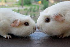 guinea pig kiss <3 💗