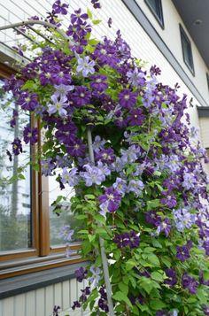 クレマチスで彩る窓辺編〜家を植物で飾ろう〜 - GardenStory (ガーデンストーリー) Beautiful Gardens, Beautiful Flowers, Small Garden Plans, Clematis Vine, Garden Cafe, Green Garden, Green Flowers, Garden Planning, Garden Inspiration