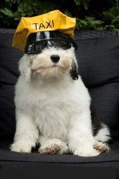 Baby Animals, Cute Animals, English Shepherd, Theme Color, Old English Sheepdog, Dog Pictures, Animal Drawings, Funny Dogs, Dog Cat