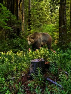 Bear Deep In The Forest