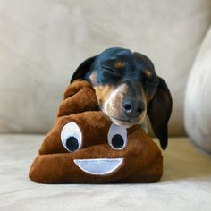 'When you're feeling totally pooped' - Adorable Reese the Miniature Dachshund…