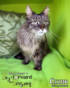 9/2016***Gizmo - URGENT - SUMMIT COUNTY ANIMAL CONTROL DEPARTMENT in Akron, OH - ADOPT OR FOSTER - 12 year old Neutered Male Domestic Long Hair