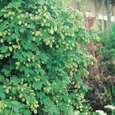 Houblon vert - Humulus lupulus Magnum