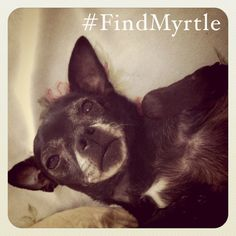 Black chihuahua missing. Last seen in Greenpoint, Brooklyn. If you live nearby, help find Myrtle!