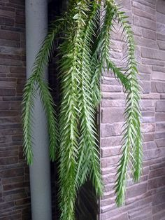 Tassel Ferns have pendulous stems that hang gracefully and are excellent for growing on vertical gardens in shady locations. Shown here is the Blue Tassel Fern (Huperzia goebelii). Several species of the Tassel Fern are now available for purchase in nurseries. The species commonly sold are epiphytic and they are best grown mounted against a well-aerated but moisture-retaining soilless media, such as pine bark. This plant demands high humidity to thrive and is best protected from wind. It should Easy To Grow Flowers, Growing Flowers, Tassel Fern, Small Space Gardening, Ferns, Indoor Plants, Nursery, Vertical Gardens, Elk Antlers