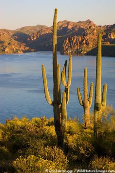 Saguaro Cactus and wildflowers above Saguaro Lake, Tonto National Forest, Arizona.   i used to go there, it is often HOT