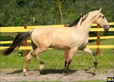 Campolina stallion Hamon de Luanda