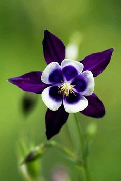 Purple Columbine...