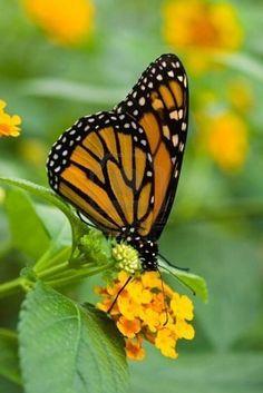 papillon                                                                                                                                                                                 More