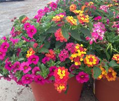 Lantana Acapulco Rose and million bells - All For Herbs And Plants Container Flowers, Flower Planters, Container Plants, Garden Planters, Container Gardening, Flower Pots, Big Planters, Succulent Containers, Fall Planters