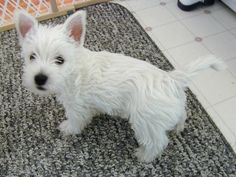 West Highland terrier... in the running to be the kind of puppy I adopt after grad school...