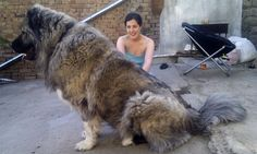 Russias Toughest Prison uses Caucasian Mountain Shepard As Guard DogsThey Weigh Up To 200lbs and Stand 6ft Tall And Said To Have The Stopping Power Of A .45 Caliber Gun