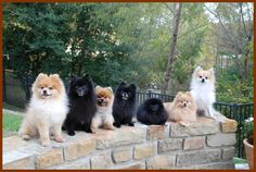 An Owner Guide for Pomchi – Chihuahua Pomeranian Mix Cute Puppies, Cute Dogs, Dogs And Puppies, Doggies, Pomeranian Chihuahua Mix, Animals And Pets, Cute Animals, Baby Animals, Pets