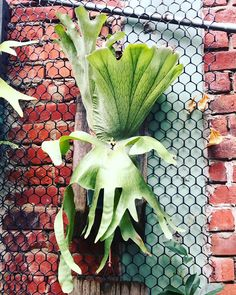 Platycerium sp. Platycerium, Staghorn Fern, Ferns, Plant Leaves, Gardening, Plants, Deer Horns, Deer, Elk Antlers
