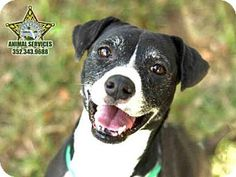 3/17 SUPER URGENT! Moving target! Check out my new pic! 2/2/16 JERSEY is STILL WAITING! 12/13 - JERSEY is an American Pit Bull Terrier Mix for adoption in Tavares, FL who needs a loving home. (((Tavares is a SNOW BIRD AREA, so many of these wonderful pets won't get adopted. If you know of rescue groups that can transport these lovable animals to other cities where they have a greater chance at being adopted, please spread the word. Thx!)))