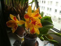 Sie blüht wieder Plants, Orchids, Plant, Planting, Planets
