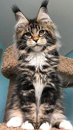 Cute Baby Cats, Cute Baby Animals, Kittens Cutest, Animals And Pets, Cute Dogs, Funny Animals, Pretty Cats, Beautiful Cats, Animals Beautiful
