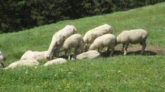 A bunch of sheeps