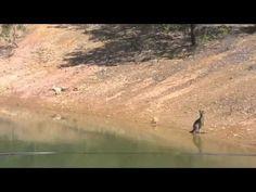 Baby Kangaroo Swimming In The Lake