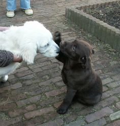 We're friends, right?  #chocolate, #labrador, #pup,