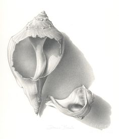 """""""Conch Shells"""" Graphite Drawing, x by Donna Basile. Packaging cover art for the new line of DERWENT soft graphite pencils. Private Collection of Derwent. Graphite Drawings, Drawing Sketches, Pencil Drawings, Art Drawings, Charcoal Drawings, Pen Sketch, Sketching, Shell Drawing, Cloud Texture"""
