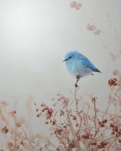 ✿⊱╮very sweet bird.  Blue. Love.