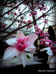 Magnolia in Budapest at Kogart Museum by zannnielim, via Flickr