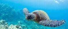 Sea Turtle, North Shore of Oahu. #Turtle #Ocean