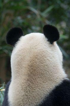 Zhen Zhen@Ueno Zoo