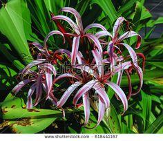 Crinum asiaticum purple flowers