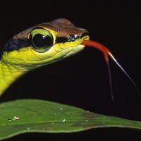 """Painted bronzeback snake""..."