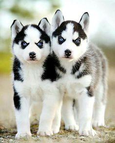 Siberian Husky Dogs A massive collection of gifts, clothes, mugs, jewelry, everything Husky! All in the same place at the lowest prices. If you are a siberian husky lover check it out. Siberian Husky Puppies, Husky Puppy, Siberian Huskies, Pomeranian Dogs, Baby Animals, Funny Animals, Cute Animals, Beautiful Dogs, Animals Beautiful