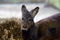 A recent study found a small group of fanged Kashmir musk deer in Afghanistan. The photo shows a Siberian musk deer - a related species also found in Asia.